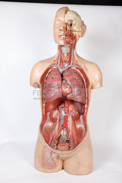 Upper Body Section Anatomical Models