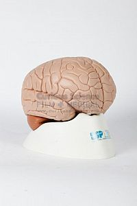 Teaching Brain Model