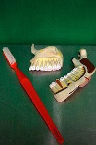 Dental Teaching Models