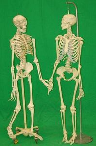Medical Teaching Skeletons