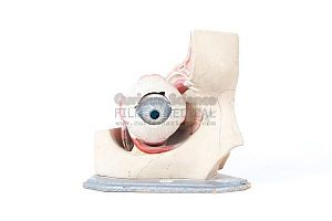 Anatomical model of eye