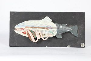 Cross section model of fish