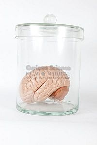Model of brain in jar