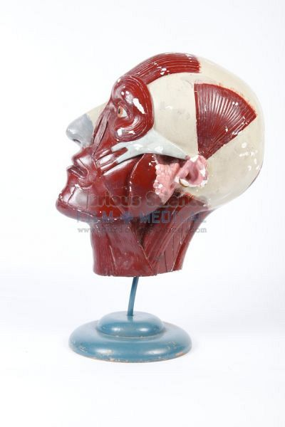 Anatomical model of head on stand