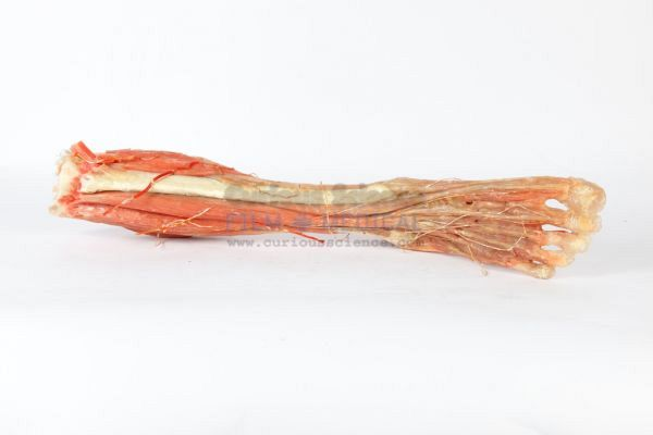 Resin model of leg