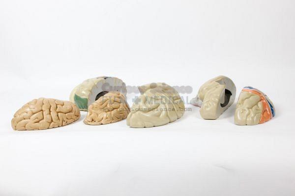 Brain section models